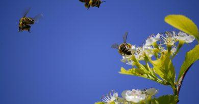 Abejas volando alrededor de unas flores.
